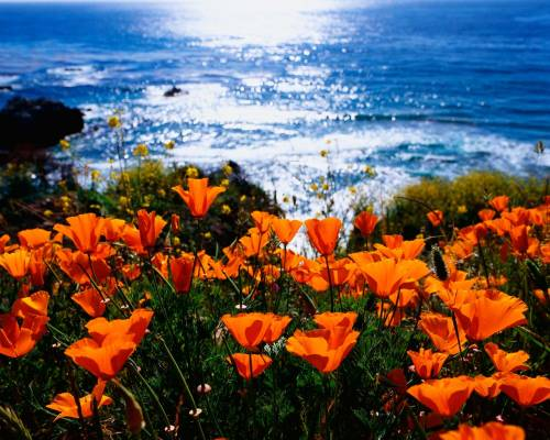 CBP0024479-California-Poppy-State-Flower-optimized