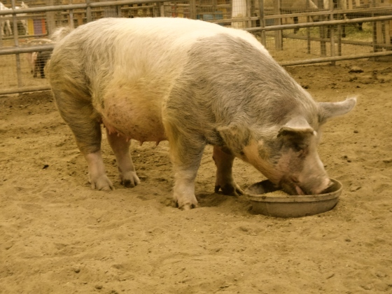 Farm animals run hog wild at the fair! Except when eating.