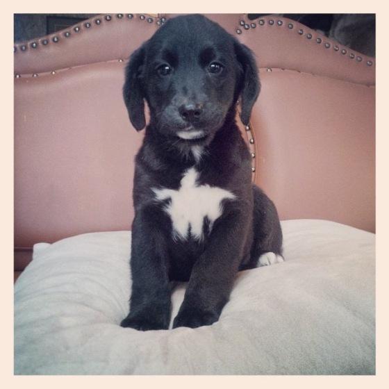Meet Ivy, aBernedoodle!